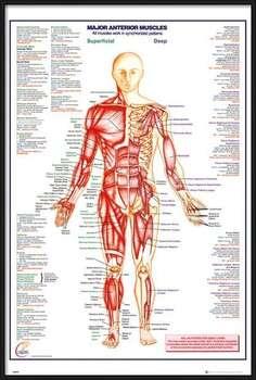 Uokvirjen plakat Human Body - Major Anterior Muscles