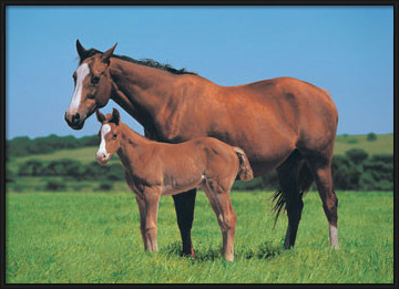 Horse & Foal Poster